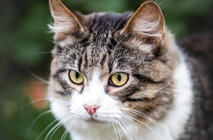 Triibulistel ja musta värvi kassidel on kõige raskem koju saada