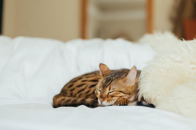 Kas kass peaks sööma kuivtoitu või märgtoitu?