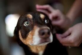 Borrelioos, anaplasmoos, erlihhioos ja babesioos koertel